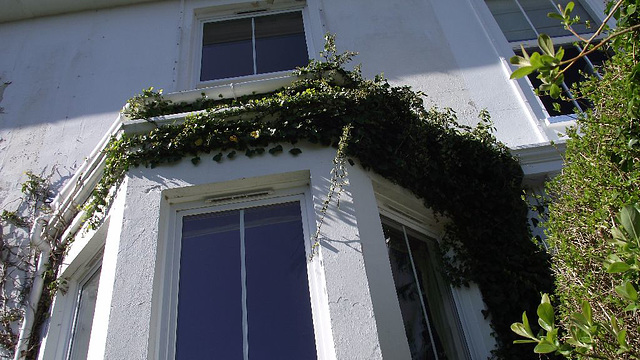 Ivy growing around the bay window