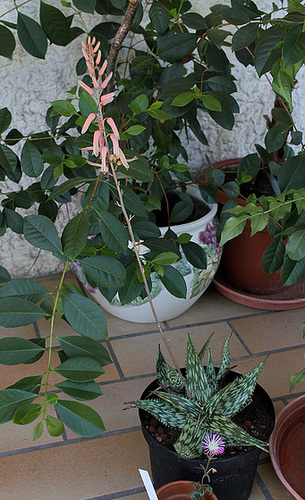 Aloe somaliensis (4)