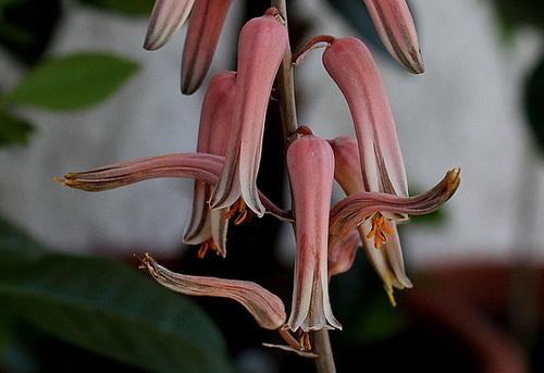 Aloe somaliensis (2)