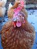 Little brown hen (1)