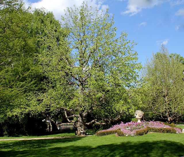 Magnolia acuminata (3)
