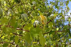 Magnolia acuminata (6)