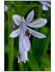Lily of the Nile Macro