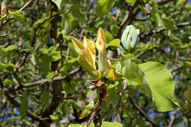 Magnolia acuminata (8)