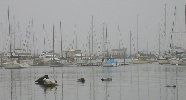Monterey, Harbor seals