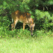 White Tailed Deer - 6