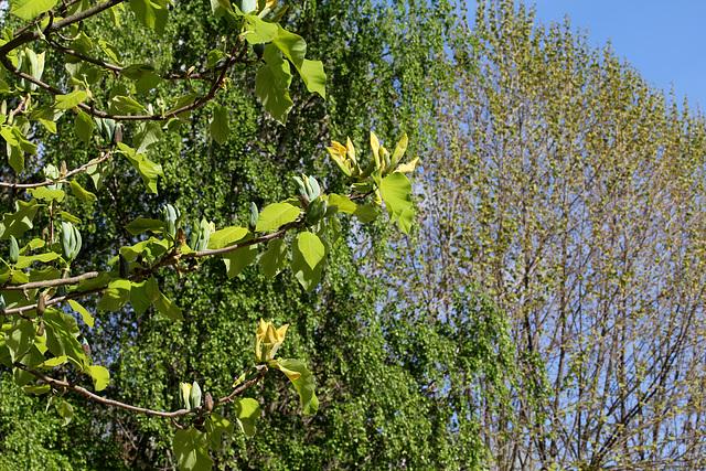 Magnolia acuminata (10)