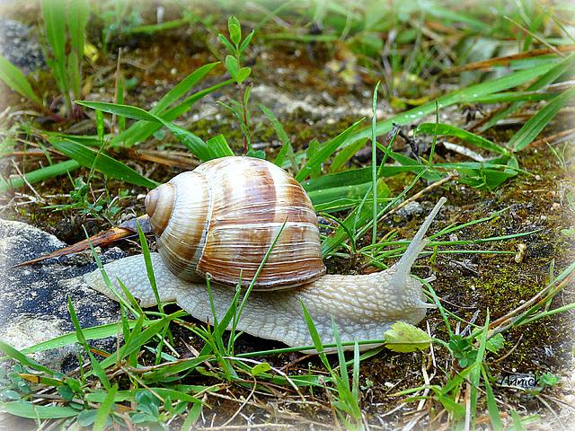 Il pleut, l'escargot est sorti se promener !