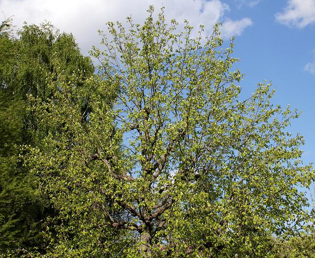 Magnolia acuminata (12)