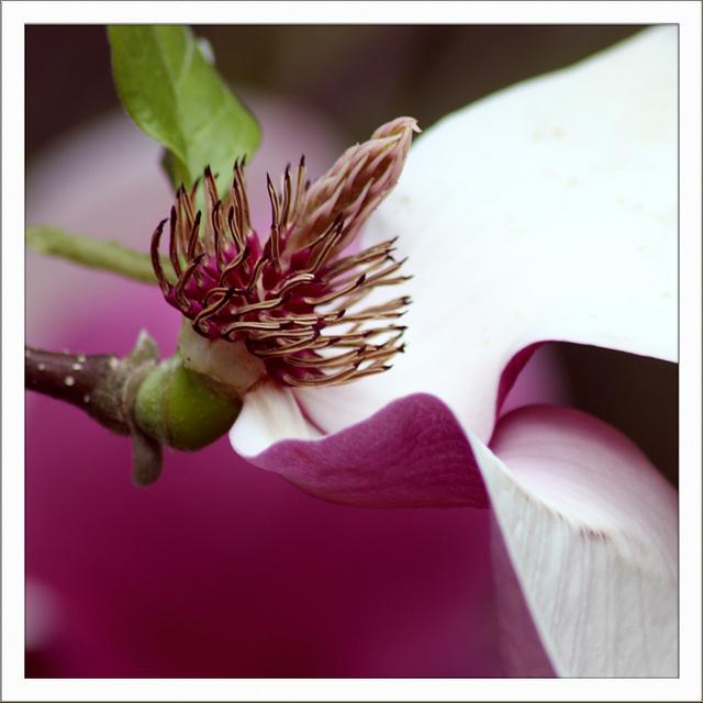 Verblühte Magnolie