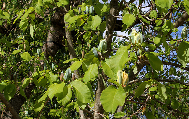 Magnolia acuminata (13)