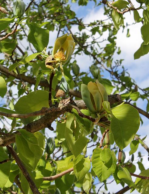 Magnolia acuminata (14)