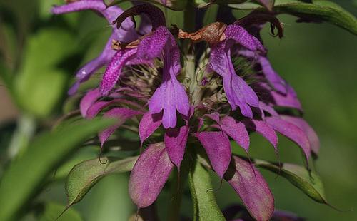 Monarde hybride x 'Lambada'