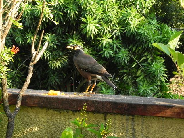 Common Mynah (Acridotheres tristis) Thailand resident throughot Asia