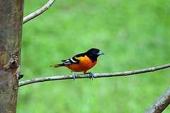 NORTHERN BALIMORE ORIOLE