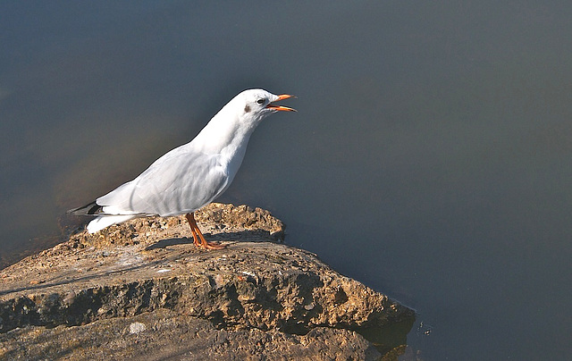 Mouette rieuse-012