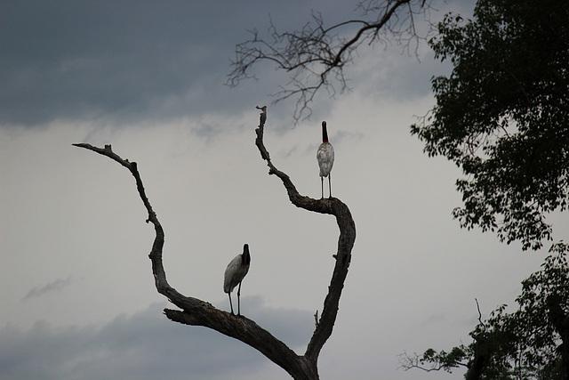 Roosting Jabiru