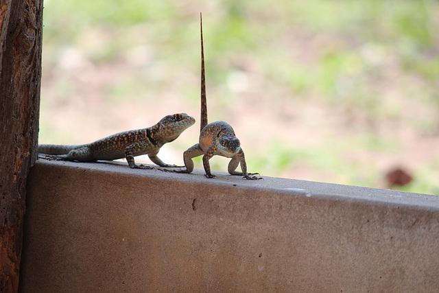 Weird lizard behaviour