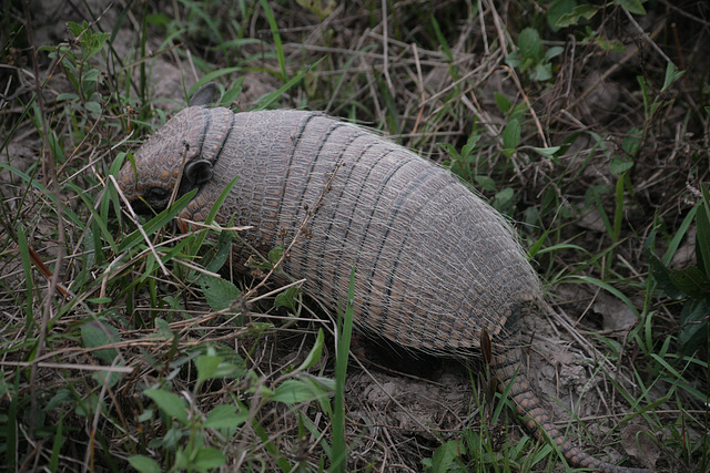 Yellow Armadillo