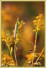 Stalking a Preying Mantis I