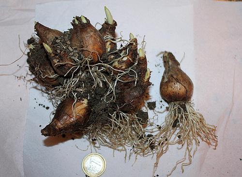 Narcisse hybride (2)