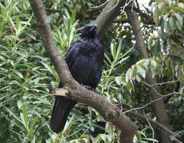 Japan Birds Raven (Corvus corvix) 11