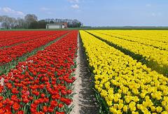 Nederland - Noordoostpolder, tulips