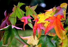 l'automne du liquidambar
