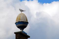 Seagull on boiled egg...