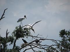 Wood Storks ..