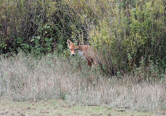 Le renard en affut