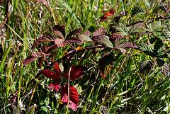 Mûrier Ronce - Rubus fruticosus