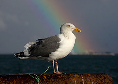 Western Gull (Larus occidentalis) and Rainbow