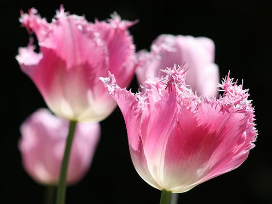 Tulip Quartet
