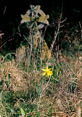 A daffodil and a tombstone