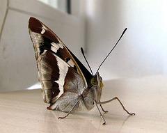 Papilio sur la tablo