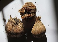 Iris reticulata - Bulbes