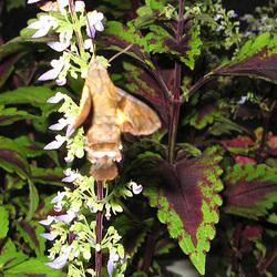 Humming Bird Hawk-Moth (Macroglossum stellatarum) in Okinawa