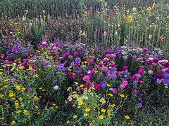 September-Blumen
