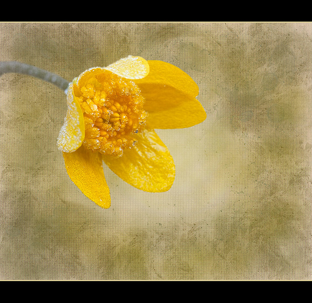 Textured Frosted Buttercup