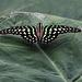 20120623 0732RAw [D-HAM] Geschweifter Eichelhäher (Graphium argamemnon), Hamm