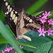20120623 0740RAw [D-HAM] Großer Schwalbenschwanz (Papilio cresphomtes) [Mittelamerikanischer-] [Brasilianischer Schwalbenschwanz], Hamm