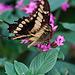 20120623 0747RAw [D-HAM] Großer Schwalbenschwanz (Papilio cresphomtes) [Mittelamerikanischer-] [Brasilianischer Schwalbenschwanz], Hamm