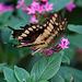 20120623 0748RAw [D-HAM] Großer Schwalbenschwanz (Papilio cresphomtes) [Mittelamerikanischer-] [Brasilianischer Schwalbenschwanz], Hamm