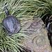 20120623 0751RAw [D-HAM] Schildkröte, Versteinerung, Hamm