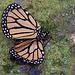 20120623 0757RAw [D-HAM] Monarch (Danaus plexppus)