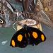 20120623 0776RAw [D-HAM] [Edelfalter] (Catonephele numalia), Hamm