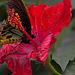20120623 0803RAw [D-HAM] Vogelfalter (Ornithoptera priamus), Hamm