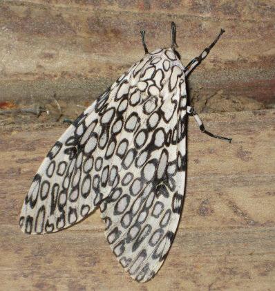 Mosaic moth