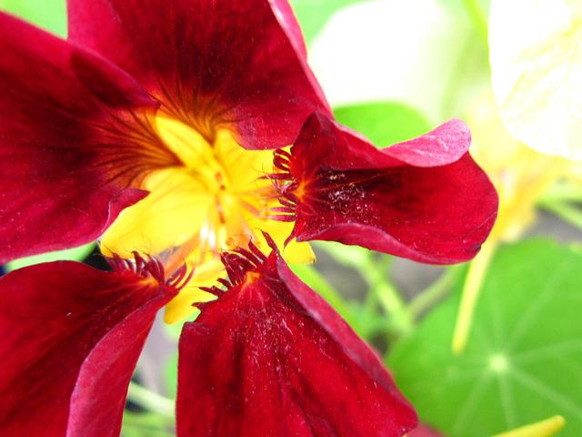 Beautiful dark red nasturtium